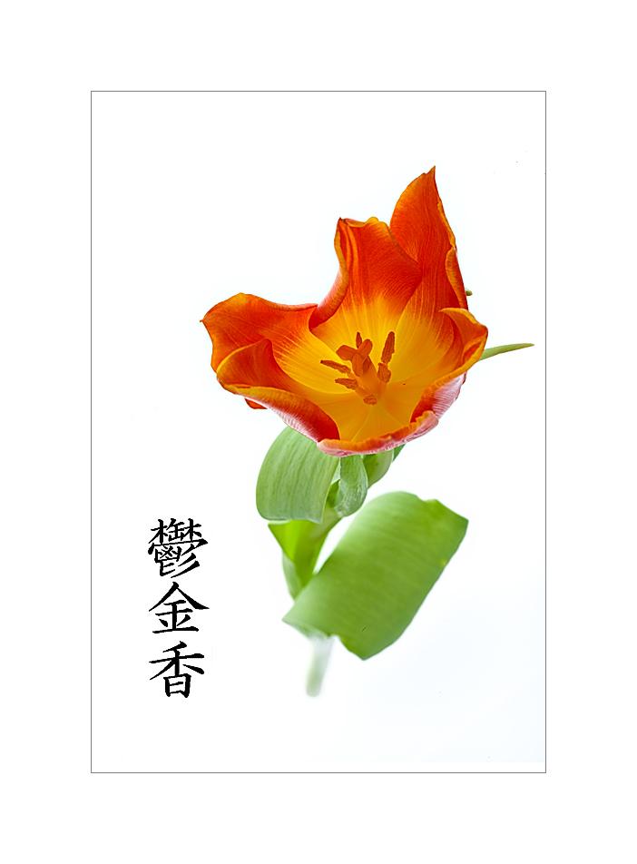 Tulpe mit Kanji