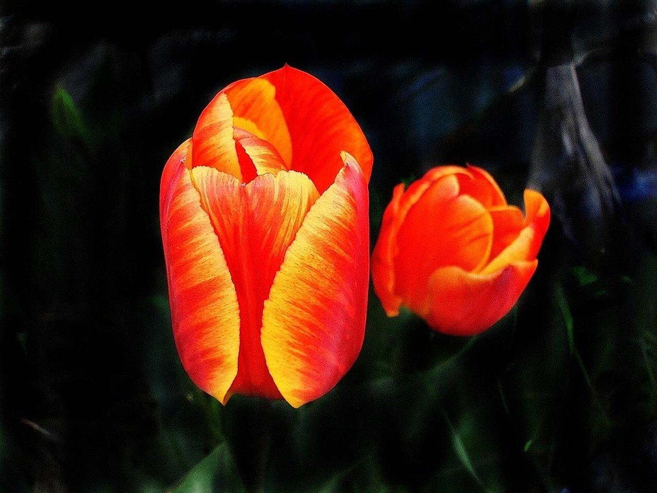 tulpe mit kind