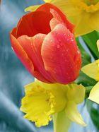 Tulpe mit Osterglocke