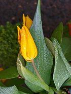 Tulpe mit Rauhreif