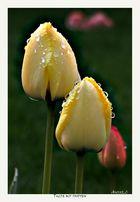 Tulpe mit Tropfen