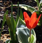 Tulpe mit Wasser