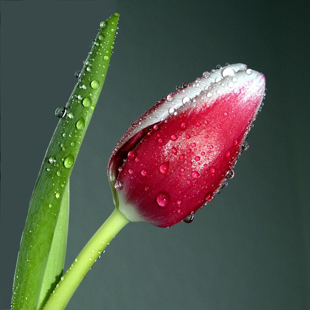 Tulpe mit Wassertropfen