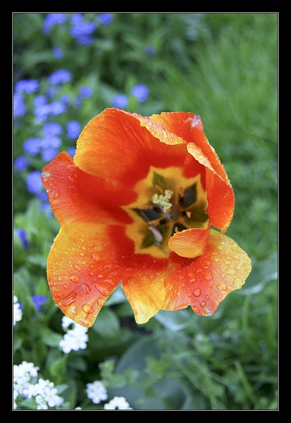 Tulpe nach dem Regen (1)