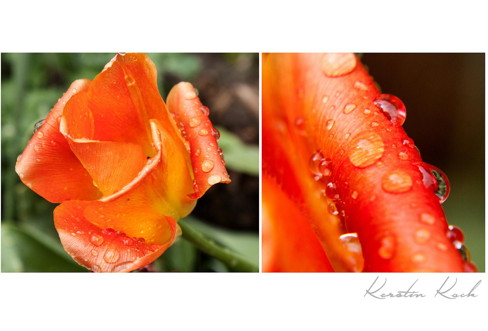Tulpe nach Regendusche