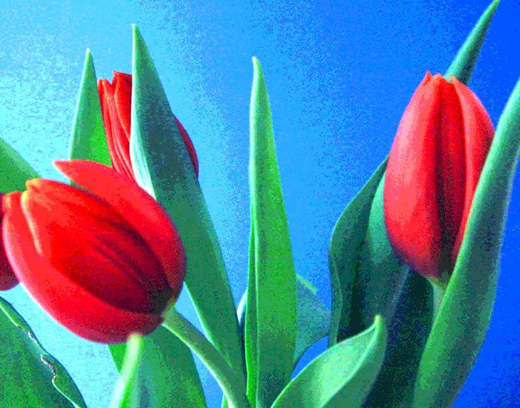Tulpe ohne Ton