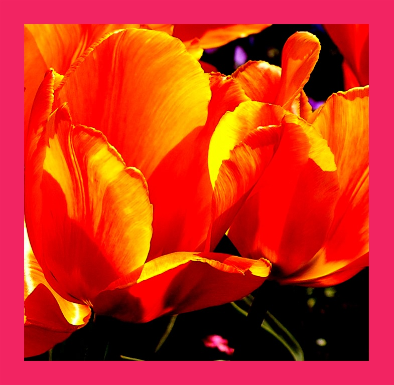 tulpe orange rahmen rosa