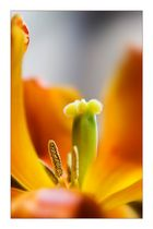 Tulpe Orange Reloaded ;-)