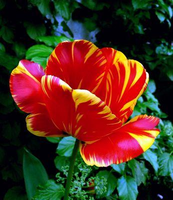 Tulpe rot/gelb