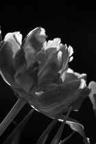 Tulpe schwarz-weiss