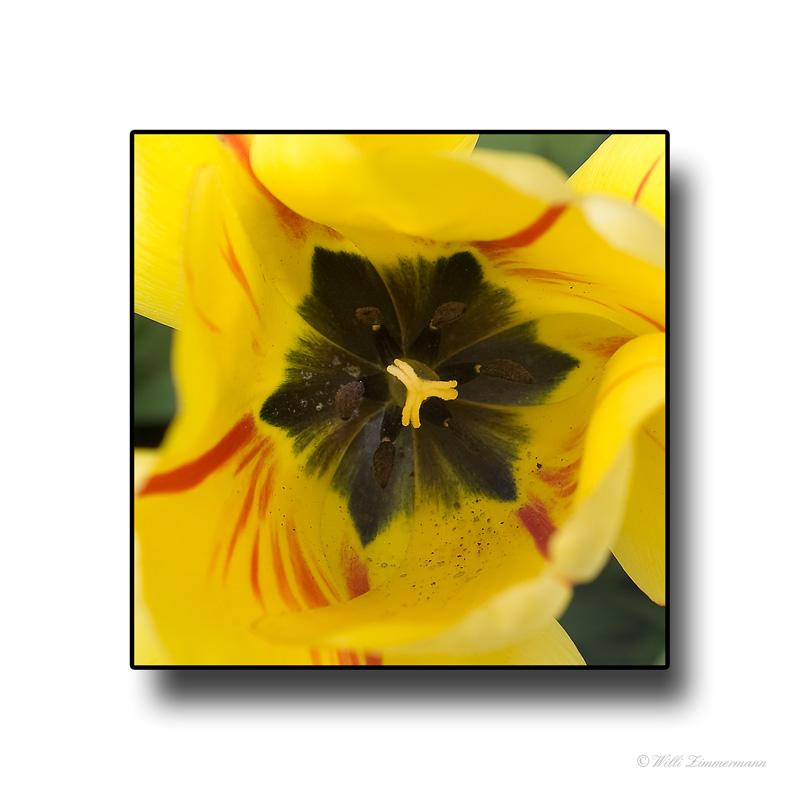Tulpe, Stempel und Staubbeutel