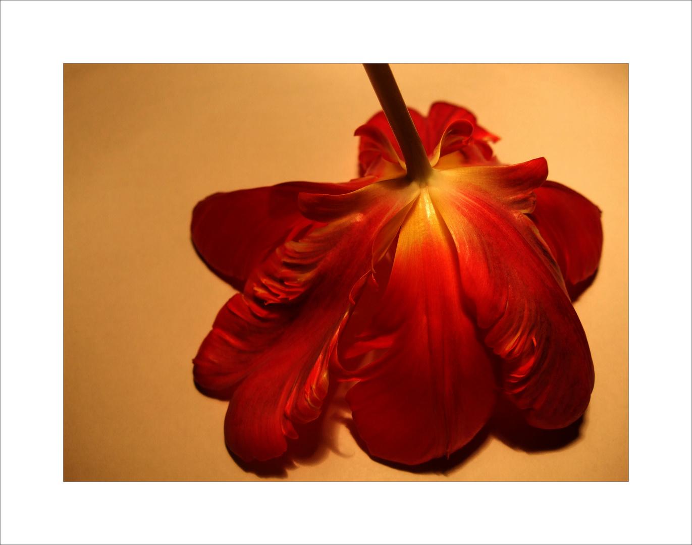 Tulpe träumt .....