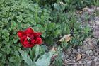 Tulpe (Tulipa)