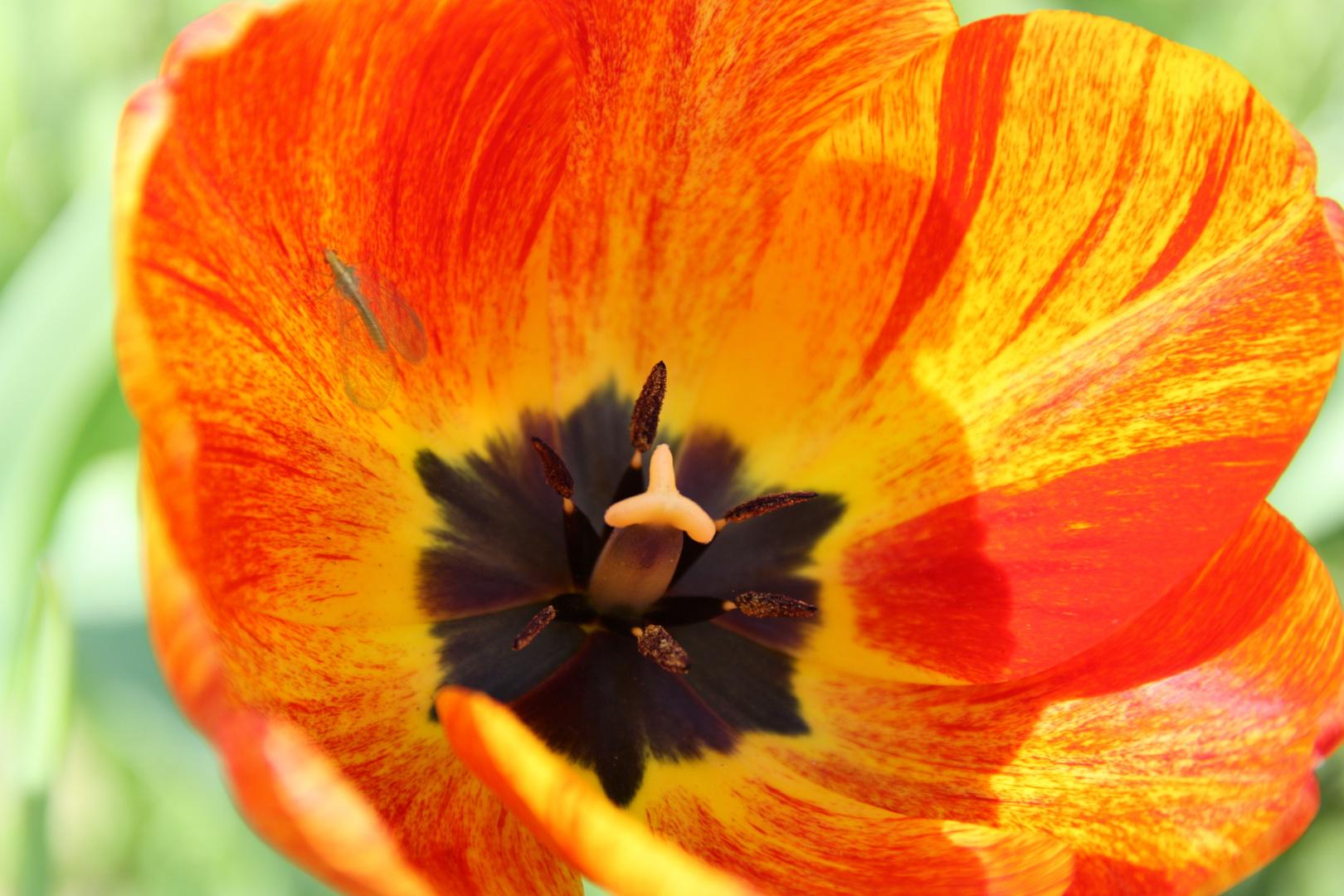 Tulpe ( Tulipa gesneriana )