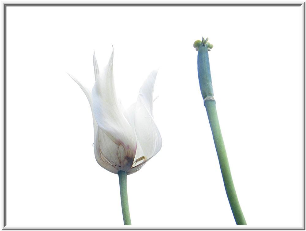 Tulpe und Stängel #01