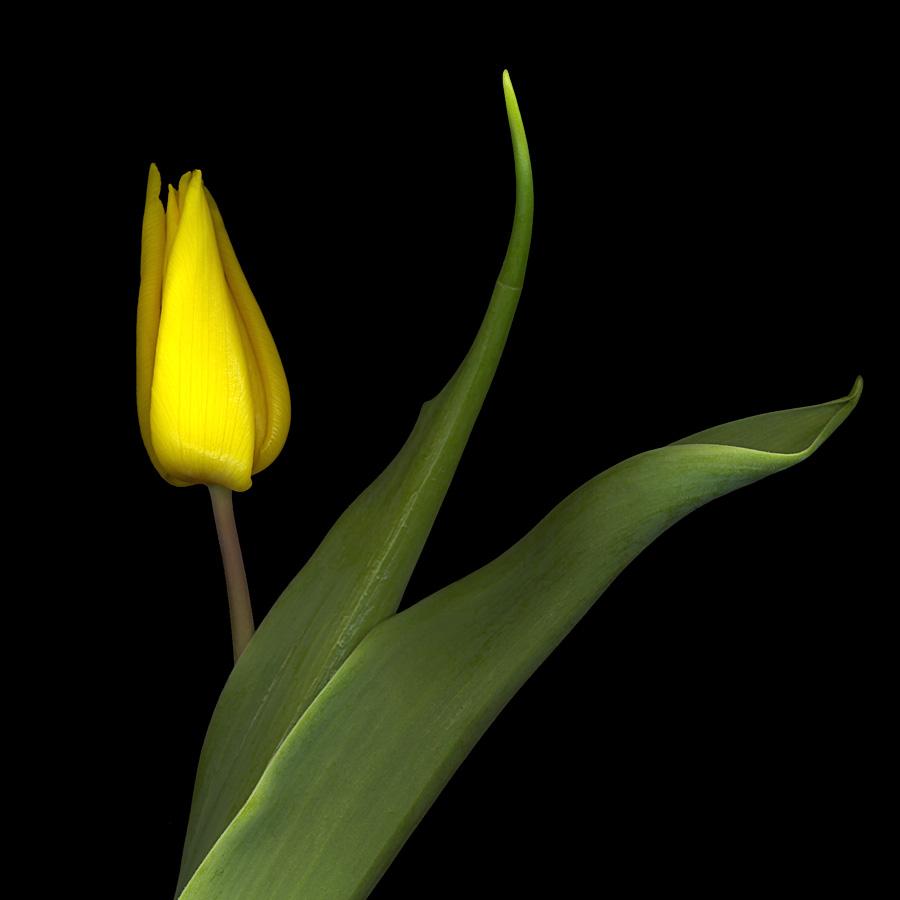 Tulpe, Variante in gelb