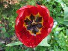 Tulpe von oben mit Regentropfen