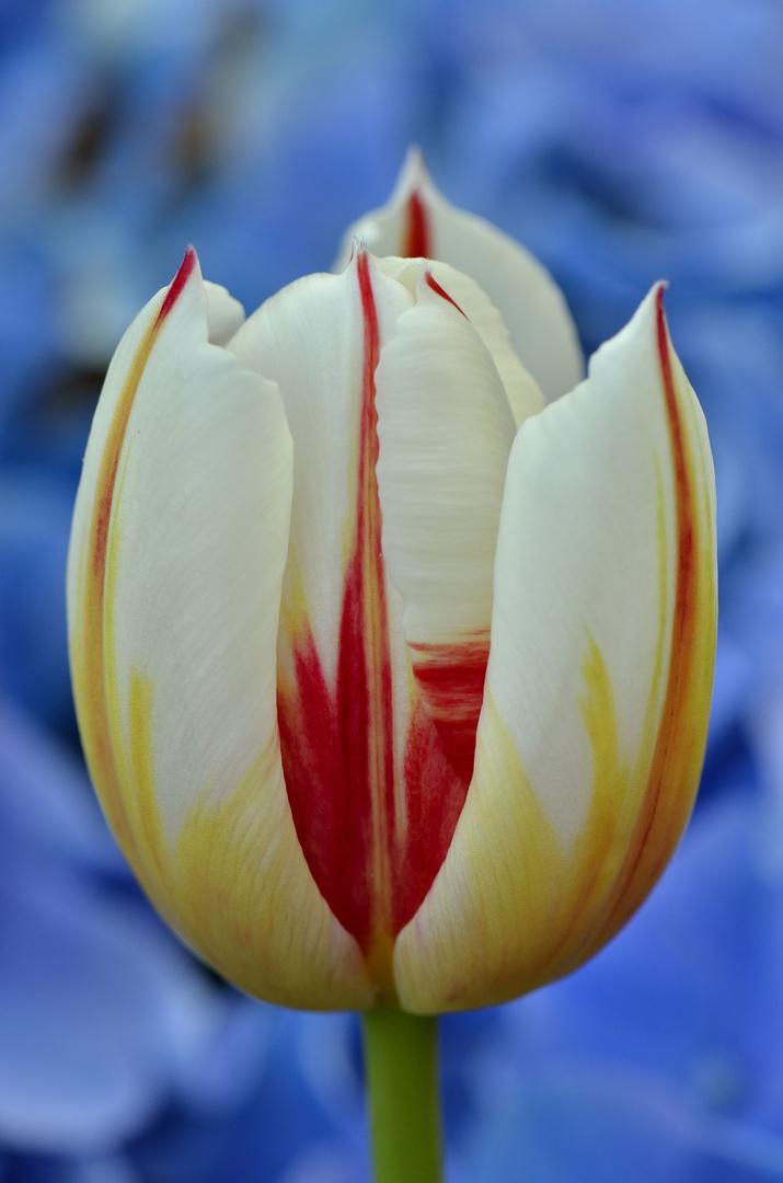 Tulpe vor Hortensie