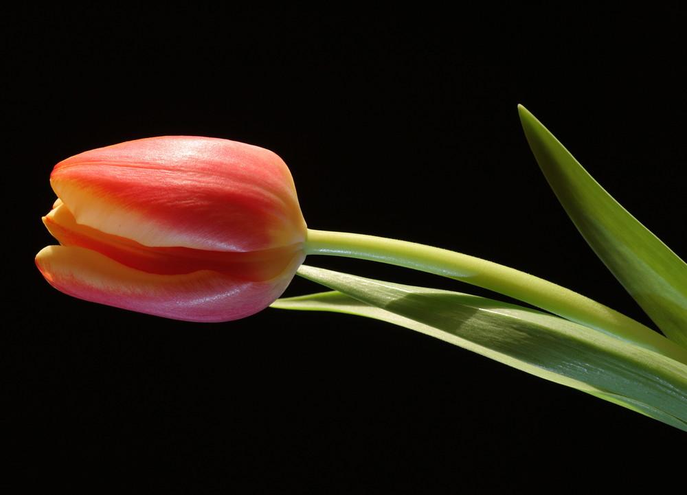 Tulpe vor schwarzem Hintergrund