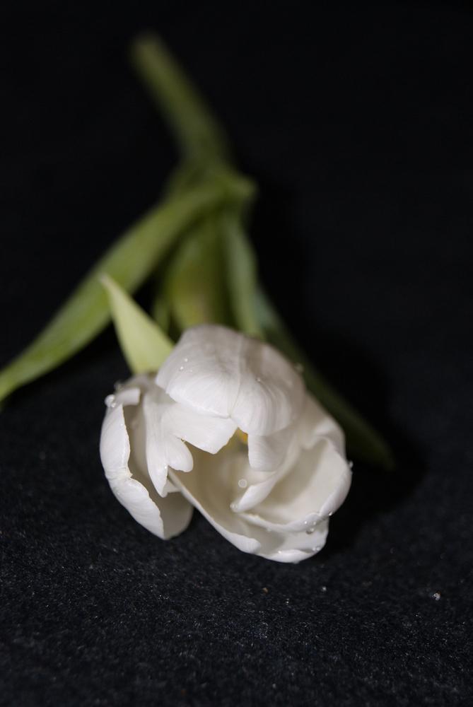 Tulpe weiß 1