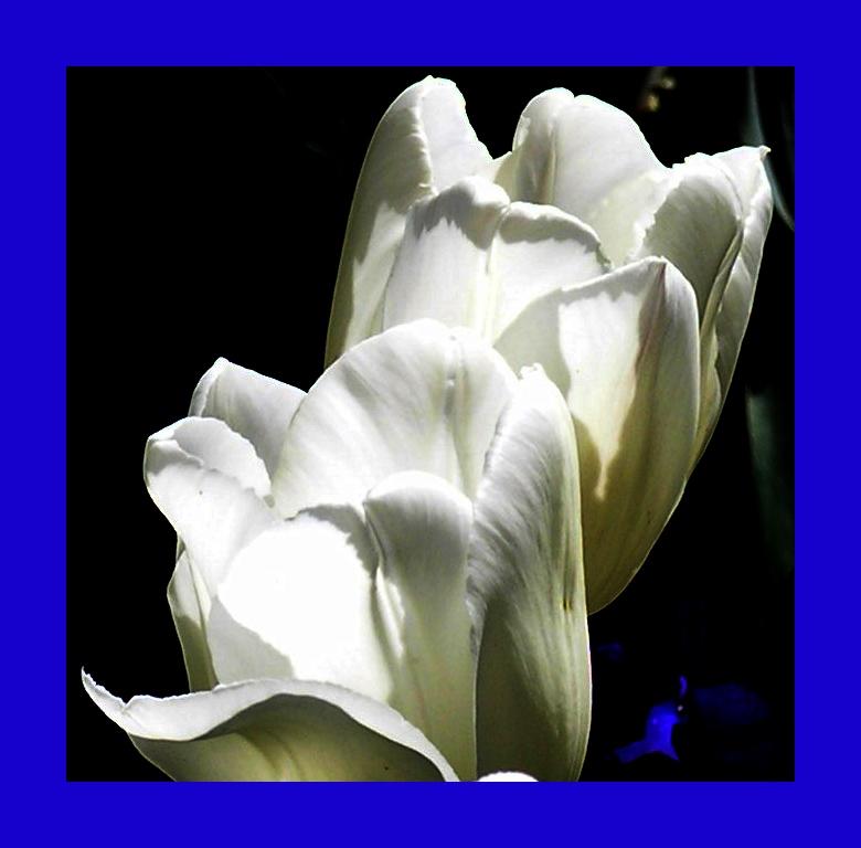 tulpe weiss rahmen blau
