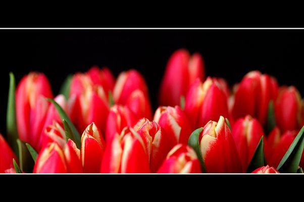 Tulpe XI