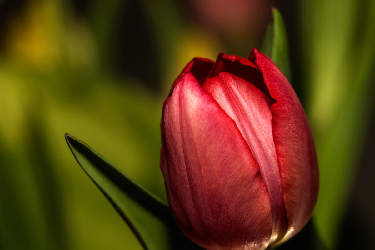 Tulpe zu Ostern