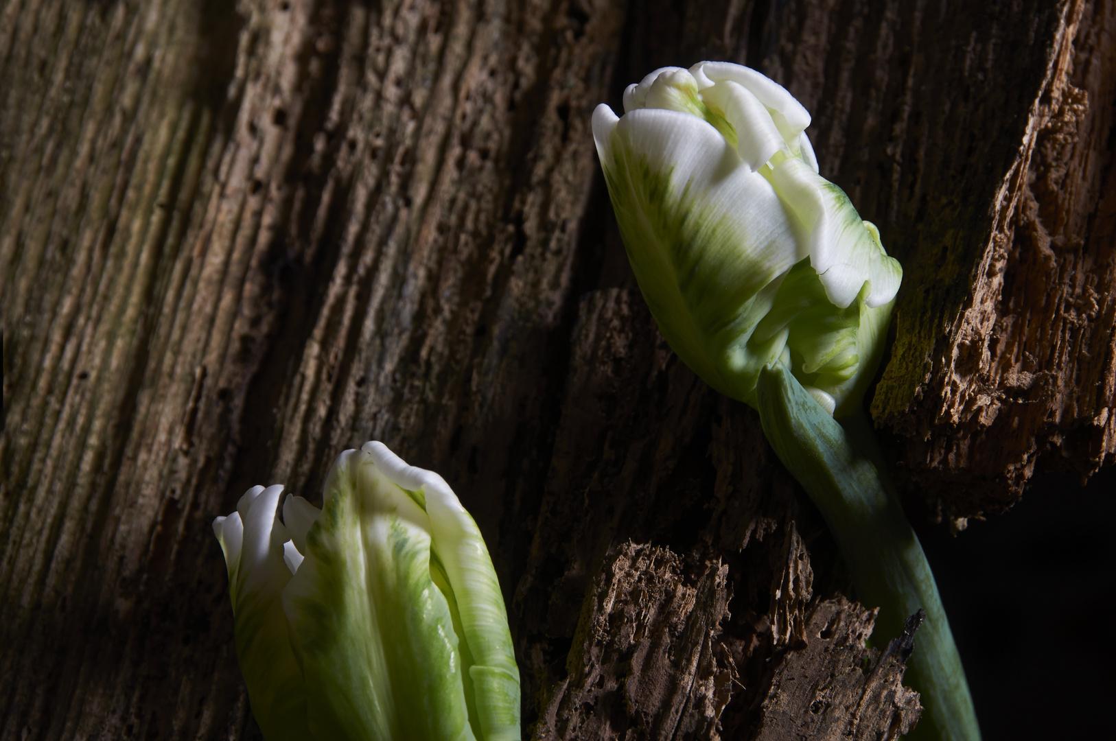 Tulpe_5