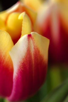 Tulpeblatt