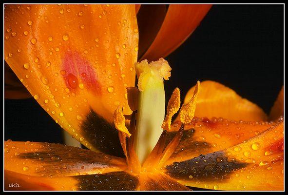 Tulpen (02015)