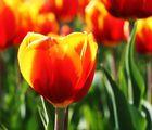 """""""Tulpen 1"""""""