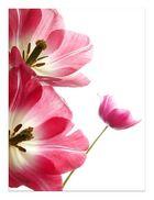 Tulpen 1