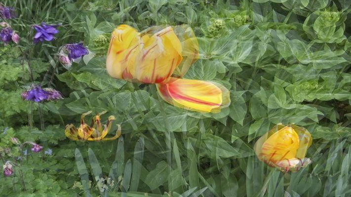 Tulpen 1 (Pol 3D)