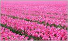 Tulpen 2008 (4)