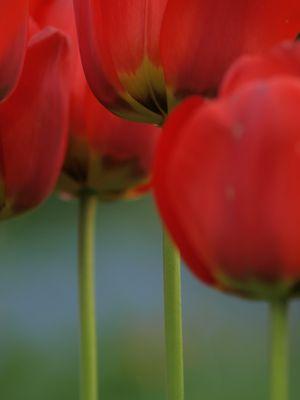 tulpen 2010