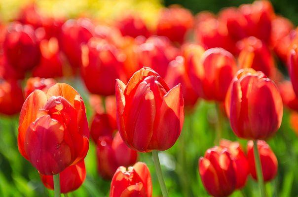 Tulpen .