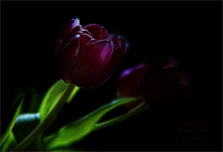 Tulpen (3)