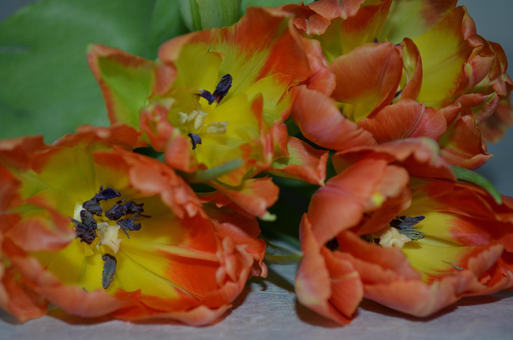 # Tulpen - 3 #