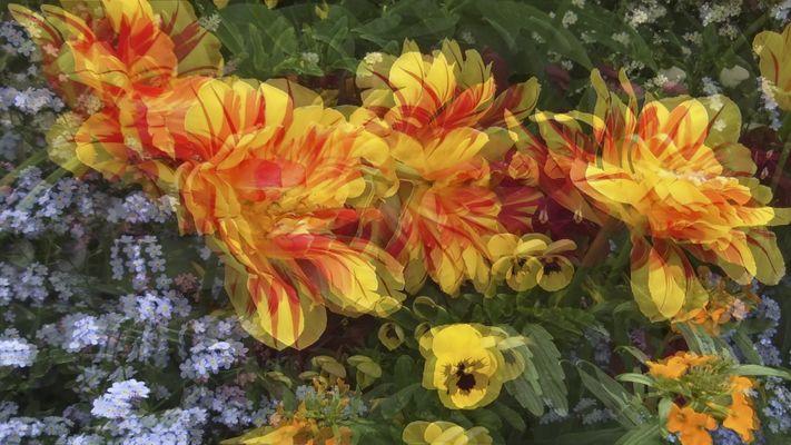 Tulpen 3 (Pol 3D)