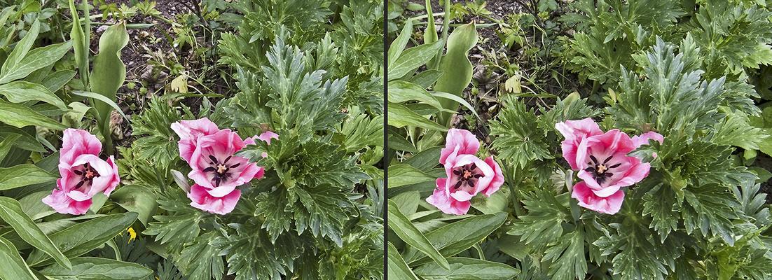 Tulpen 4 (3D)