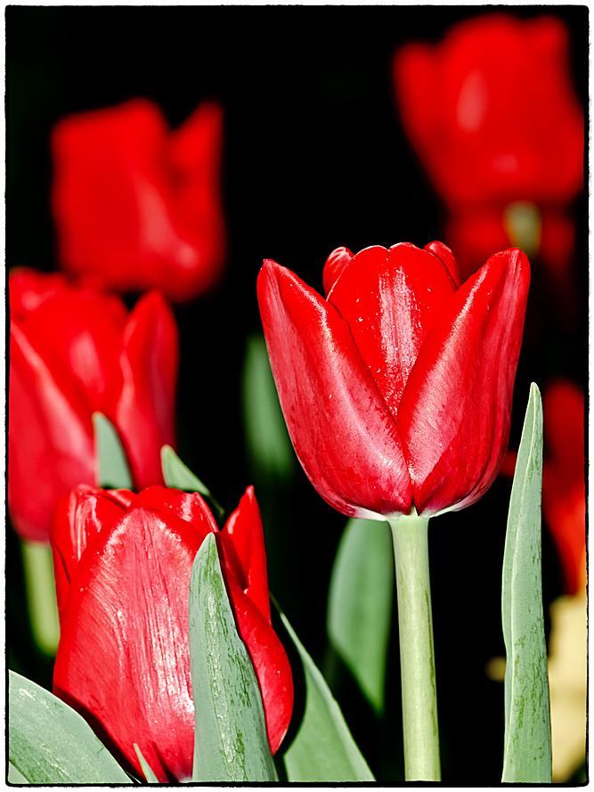 Tulpen-4