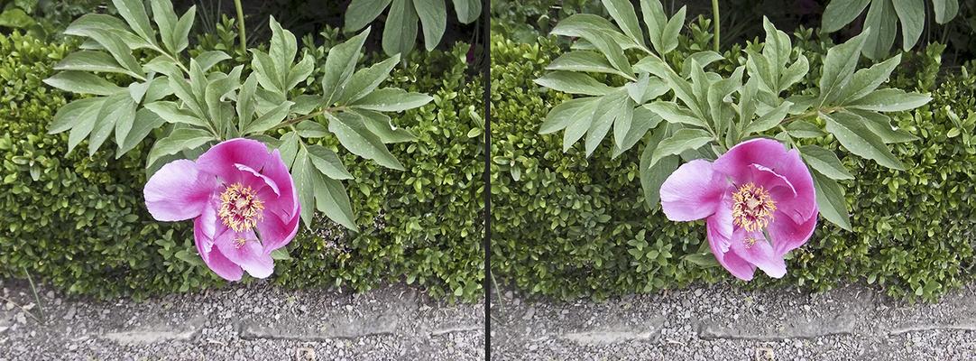 Tulpen 5 (3D)