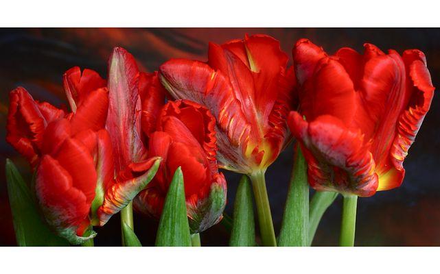 - Tulpen -