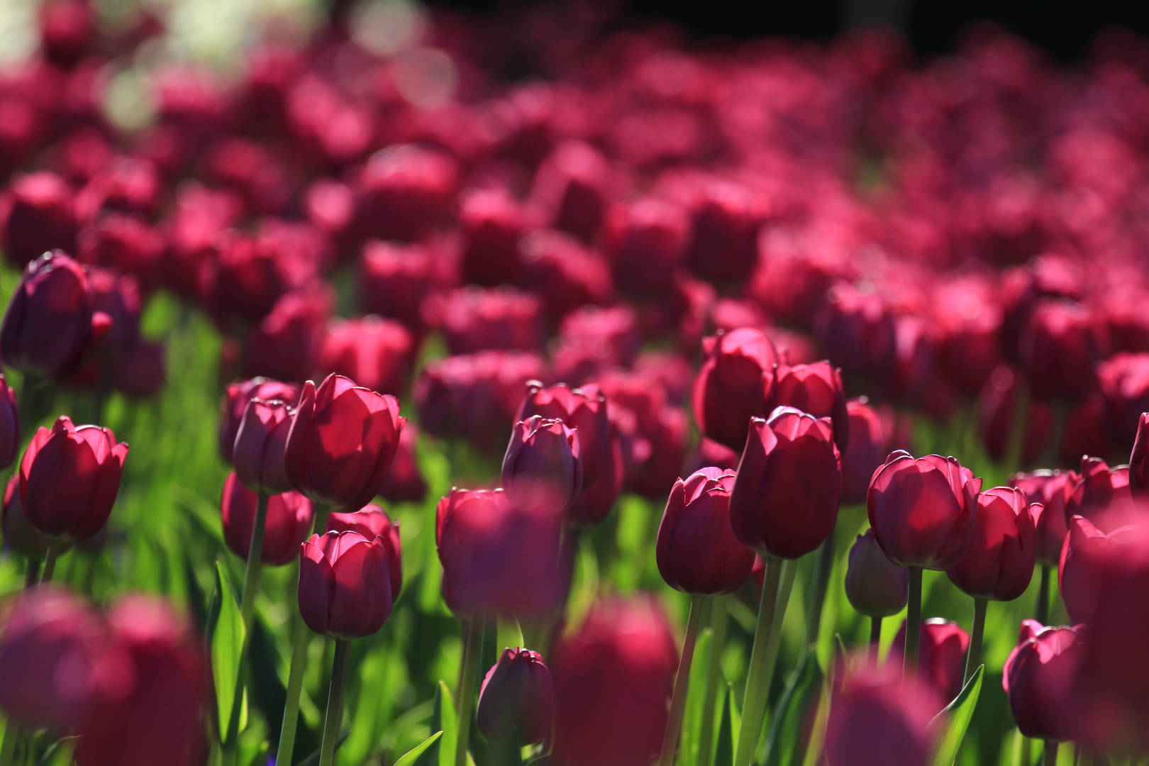 Tulpen....