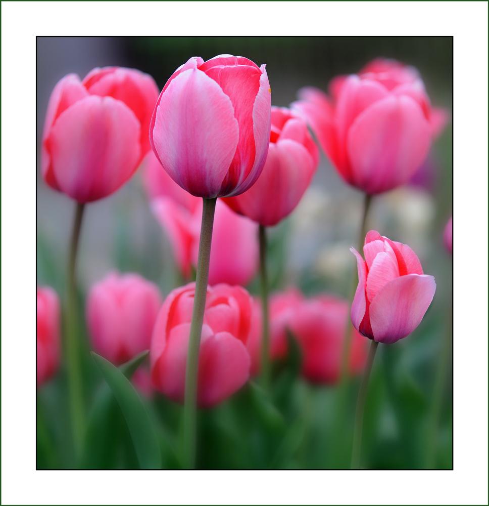 Tulpen...