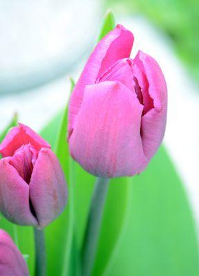~Tulpen~