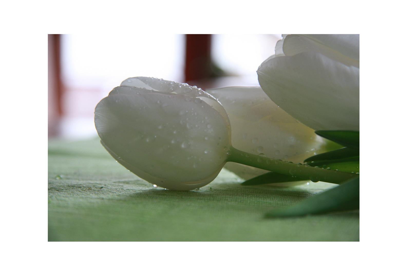 ..Tulpen....