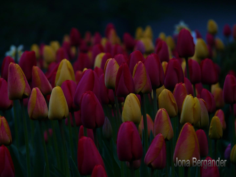 Tulpen am Abend