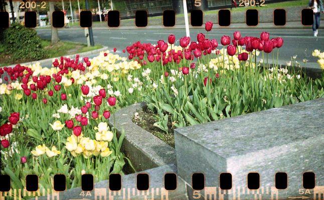 Tulpen am Bahnhof