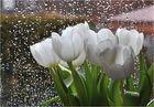 Tulpen am Fenster